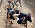 Bullriding-India-PONGAL festival-Tamiword25.jpg