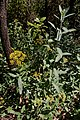 Bupleurum falcatum-Buplèvre en faux 1-20160806.jpg