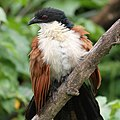 Burchell's Coucal, at Kruger National Park (38128800636).jpg