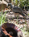 Burhinus grallarius -Perth Zoo, Australia -juvenile-8a.jpg