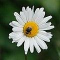 Busy bee (19026663242).jpg