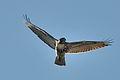 Buteo jamaicensis (Juvenile) -flying-8.jpg