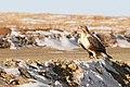 Buteo lagopus, Terelj NP, Mongolia.jpg