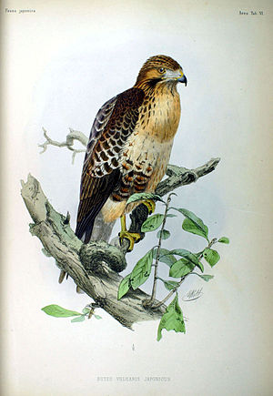 Eastern buzzard - Image: Buteo vulgaris japonicus Fauna Japonica