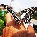 Butterfly231.jpg
