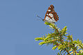 Butterfly Southern White Admiral - Limenitis reducta 01.jpg