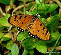 Butterfly Tawny Coaster.jpg