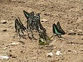 Butterfly mud-puddling at Kottiyoor Wildlife Sanctuary (27).jpg