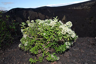 <i>Bystropogon</i> genus of plants