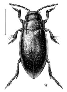 Adult dytiscids beetles legs larvae