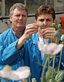 CSIRO ScienceImage 1385 Morphinefree Poppy.jpg