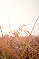 CSIRO ScienceImage 383 Head of rice in a field.jpg