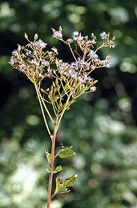 Cacalia atriplicifolia flower