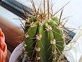 Cactus idrocoltura (2).JPG
