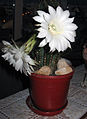 Cactus with flower.jpg