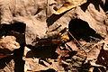 Caelifera 1 Shawnee NF.jpg