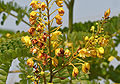 Caesalpinia sappan (Sappan wood) W3 IMG 3339.jpg