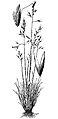 Calamagrostis breweri HC-1950.jpg