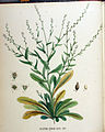 Calepina corvini — Flora Batava — Volume v18.jpg