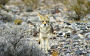 Coyote near Titus Canyon