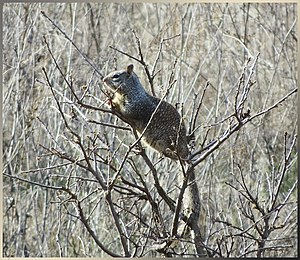Ground squirrel - California ground squirrel in a tree.