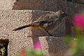 California Towhee at Point Dume.jpg