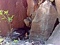 California condor -206 feeds chick -871. (34991632895).jpg
