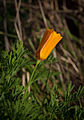 California poppy (Eschscholzia californica) (4088780788).jpg