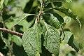Callicarpa americana 45zz.jpg