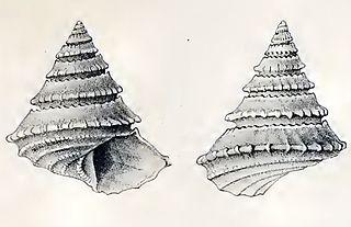<i>Calliotropis pagodiformis</i> species of mollusc