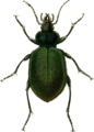 Calosoma sycophanta Jacobson.png