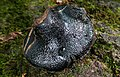 Camarops petersii (Berk. & M.A. Curtis) Nannf 948129.jpg