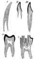 Cambridge Natural History Mammalia Fig 033.png