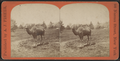 Camel in Central Park, from Robert N. Dennis collection of stereoscopic views 2.png