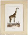 Camelopardalis giraffa - 1700-1880 - Print - Iconographia Zoologica - Special Collections University of Amsterdam - UBA01 IZ21600137.tif