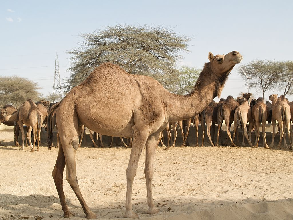 Camels at Camel Research Farm, Bikaner