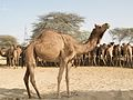 Camels at Camel Research Farm, Bikaner.jpg
