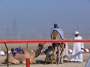 Robot jockey - Camels mounted by robot jockeys