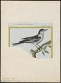 Campephaga terat - 1700-1880 - Print - Iconographia Zoologica - Special Collections University of Amsterdam - UBA01 IZ16500417.tif
