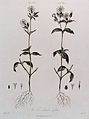 Campion (Lychnis sp.); entire male and female flowering plan Wellcome V0042986.jpg