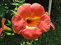Campsis grandiflora 04.JPG