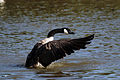 Canada goose (branta canadensis) cleaning feathers.jpg