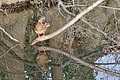 Canard colvert (Anas platyrhynchos) femelle.jpg