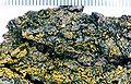 Candelaria concolor-1.jpg