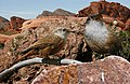 Canyon wren From The Crossley ID Guide Eastern Birds.jpg