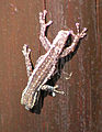 Cape Dwarf Gecko, Kruger Park.jpg