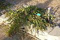 Capparis spinosa - San Luis Obispo Botanical Garden - DSC06008.JPG