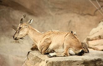 Markhor - Female with young, at the Columbus Zoo and Aquarium