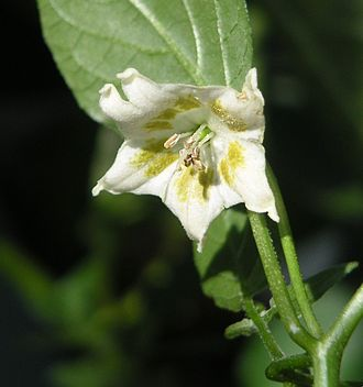 Capsicum baccatum - Image: Capsicum bacatuum flower