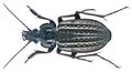 Carabus (Limnocarabus) clathratus arelatensis Lapouge, 1903 Syn.- Carabus (Limnocarabus) clatratus arelatensis Lapouge, 1903 (15678475174).png